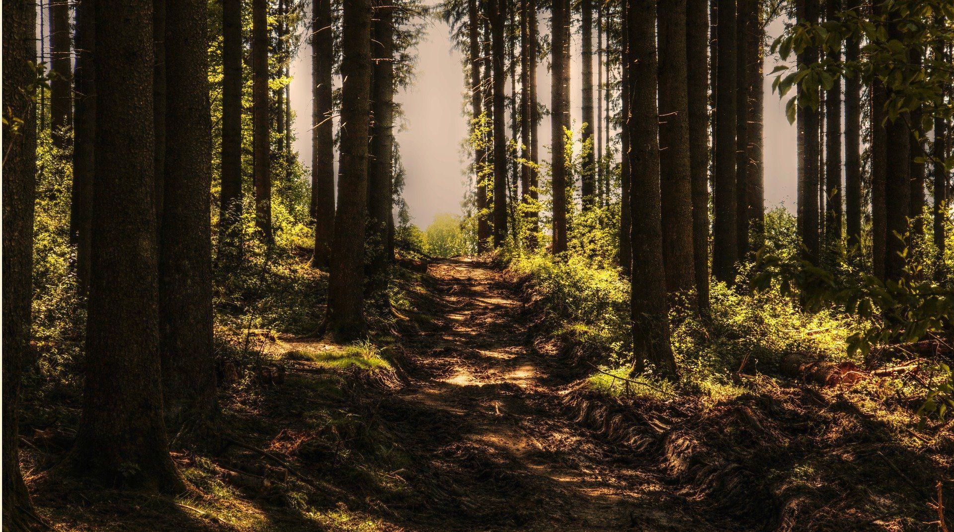 Ein Waldweg umgeben von Bäumen.